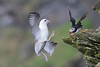 Fulmar and Puffin