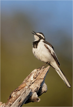 African-pied wagtail