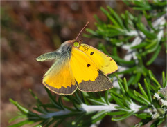 Clouded-yellow butterfly