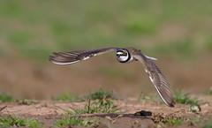 Little-ringed plover