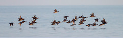 Mixed Scoters at Titchwell