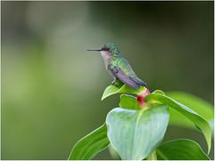 Antillean-crested hummingbird female