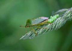 Green shieldbug egg-laying
