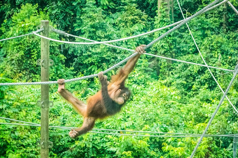 Orangutan At Sepilok Orangutan Rehabilitation Centre
