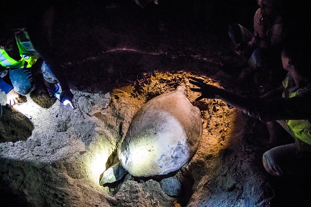 Inspecting A Green Turtle, Selingan Island, Turtle Islands National Park, Sabah, Borneo