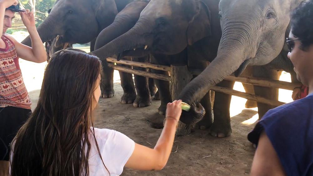 feeding elephants bananas at elephant sanctuary chiang mai thailand