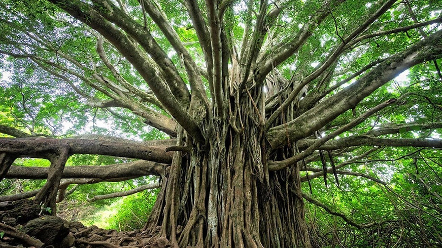 Bodhi Tree.jpeg
