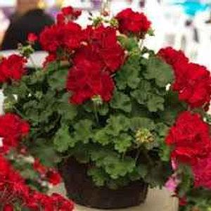 """4.5"""" Pot Geraniums"""
