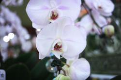a_la_fleuristerie_arpajon_orchidée