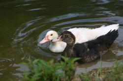 Certified Wildlife Habitat  Ducks