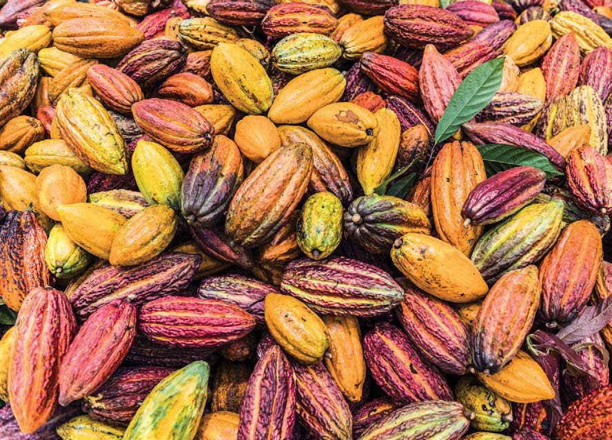 Cacao pods, which cocoa beans come from, are large and come in many colors!