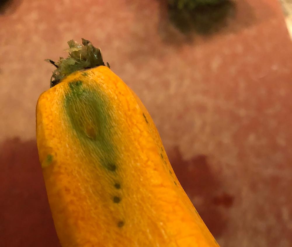 Peeling this carrot revealed green tissue inside it.