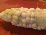 Shriveled corn kernels?
