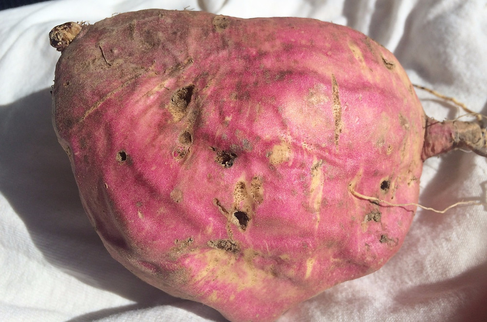 The little holes on this sweet potato were created by grubs.