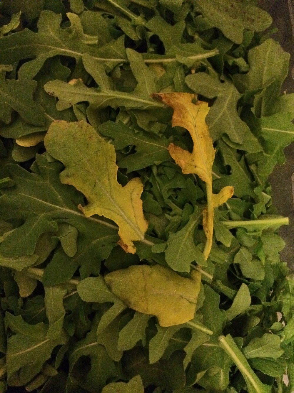 As arugula ages, it turns from green to yellow.
