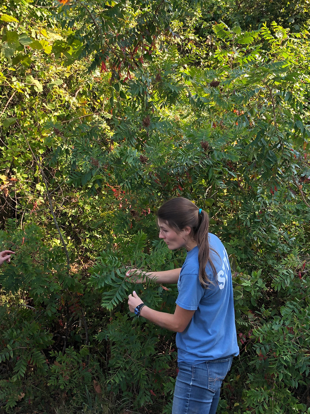 Our guide pulls berries off a sumac tree.