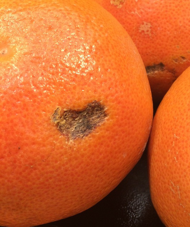 The brown spot on this grapefruit is a healed injury. The grapefruit is still good to eat.