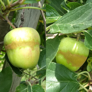 A rough brown band around apples
