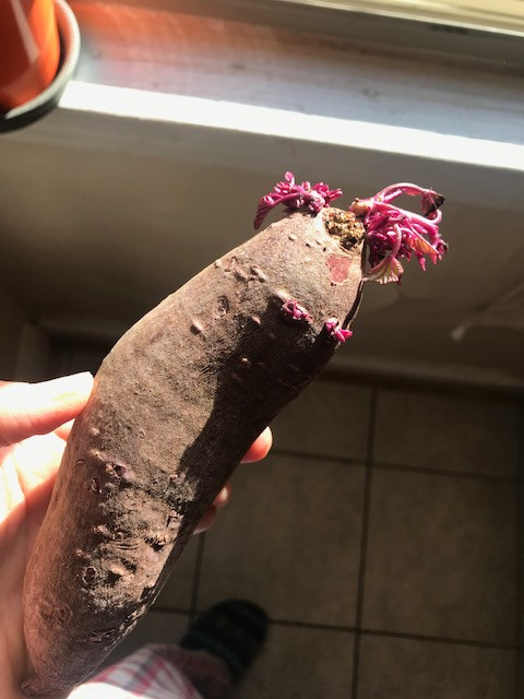 A sprouted sweet potato