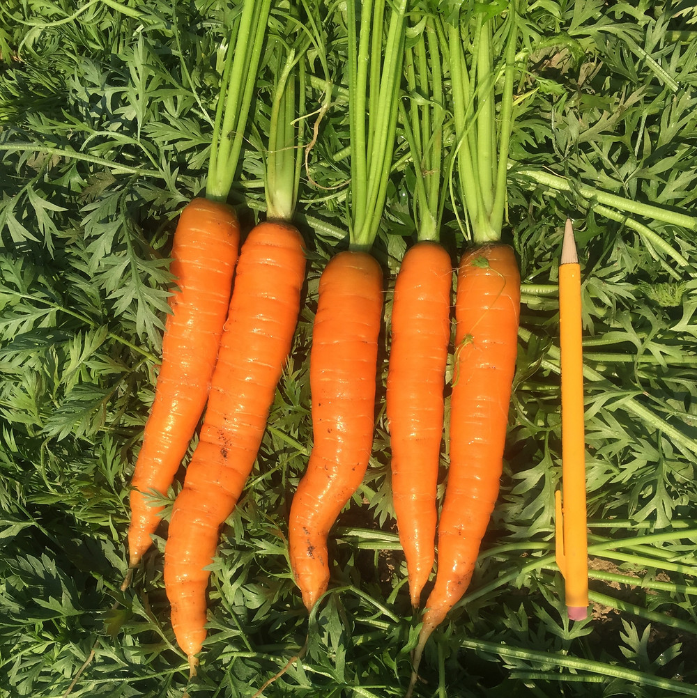 A row of carrots, some with bumps because they hit an obstacle while growing