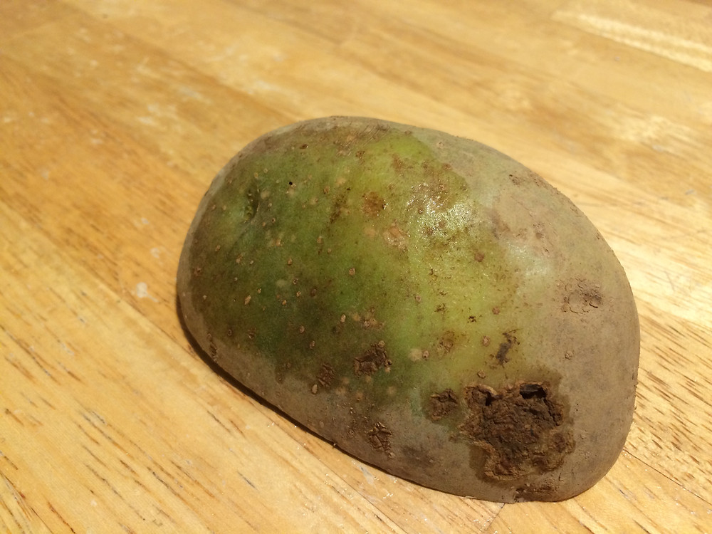 This potato needed to be tossed because it was too green.