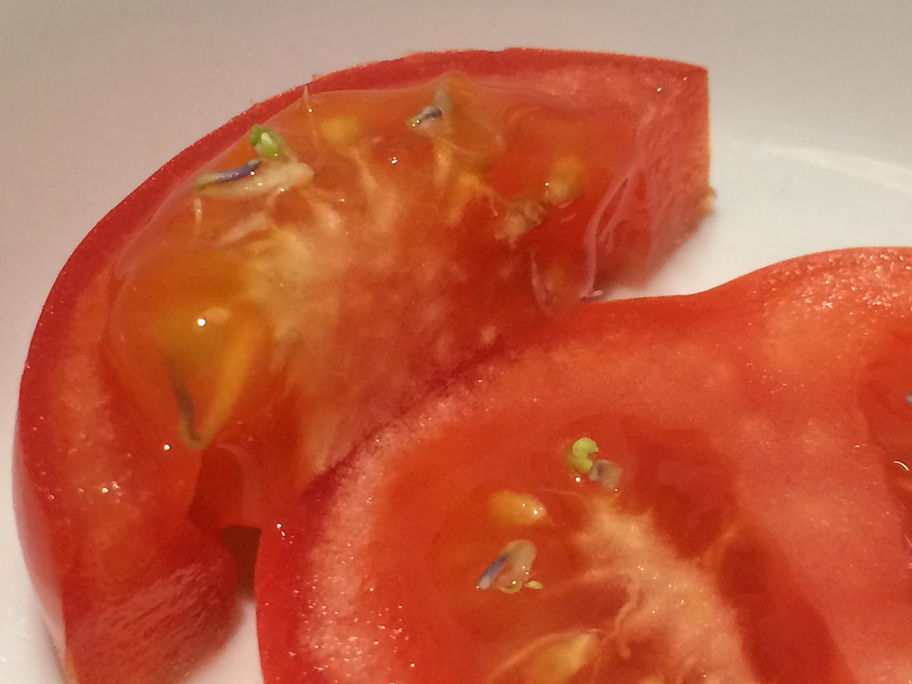 These seeds are sprouting inside the tomato! But it's still perfectly safe to eat!