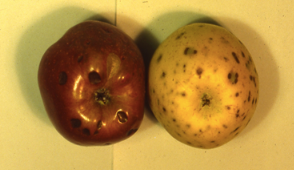 Sunken spots on these apples indicate bitter pit; a defect caused by insufficient calcium