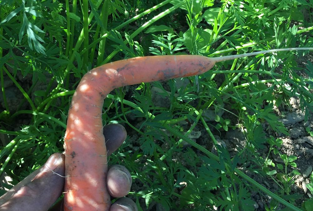 A carrot bent at a right angle!