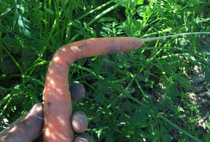 This carrot hasn't taken a turn for the worse!