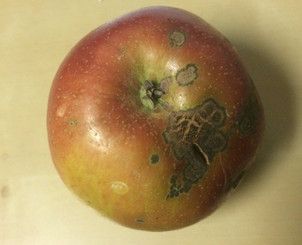 What's this scabby stuff on my apple?