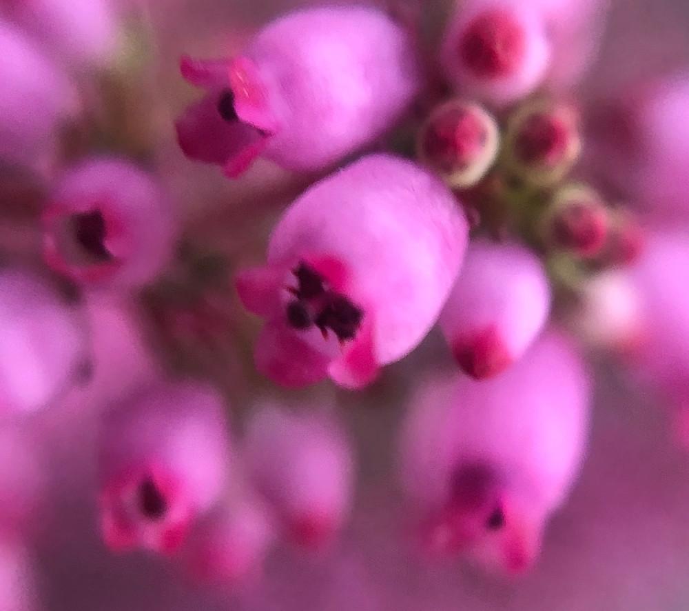 Zu sehen sind die geöffneten Blüten einer Besenheide.