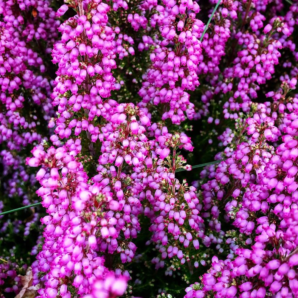 Eine Aufnahme von einer Besenheide. Die kleinen lila-rosa Blüten sind zahlreich zu sehen.