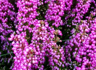 Die Besenheide - ein besonderes Pflanzenportrait