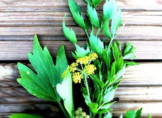 Liebstöckel - ein etwas längeres Pflanzenportrait