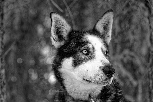 Yukon - Schlittenhund II