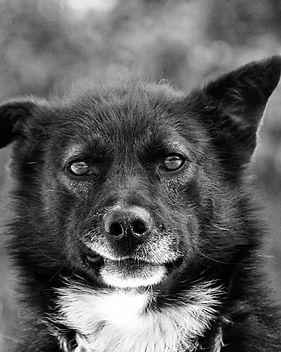 Schlittenhund Yukon Schnuelle.jpg