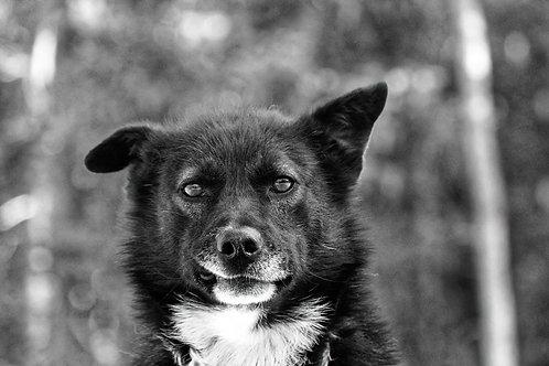 Yukon - Schlittenhund