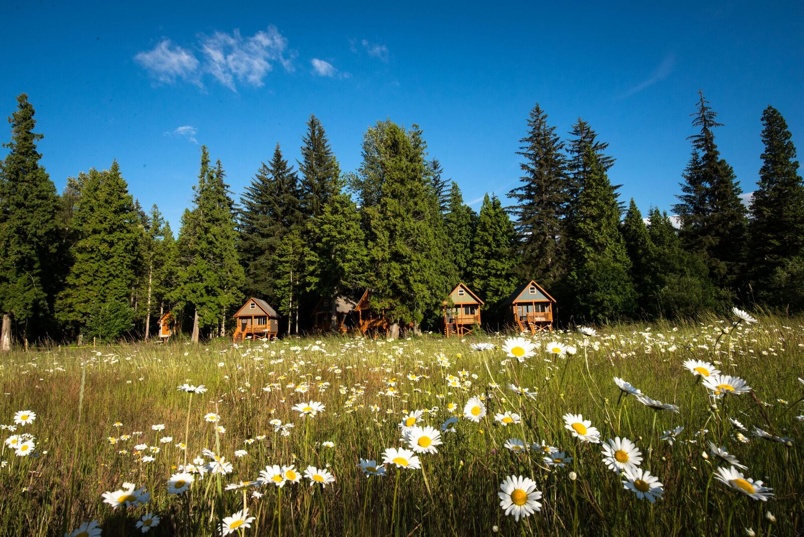 Daisies & Cabins