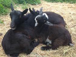 Goat snuggles