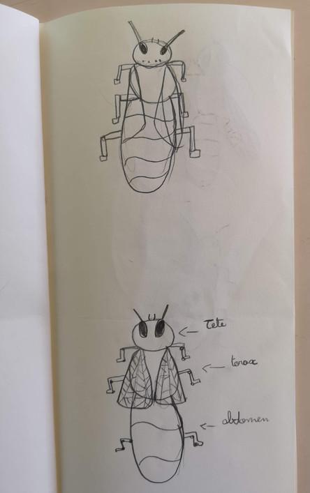 Comment est fait un insecte