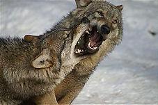 lune carte tarot vincent beckers chien et loup