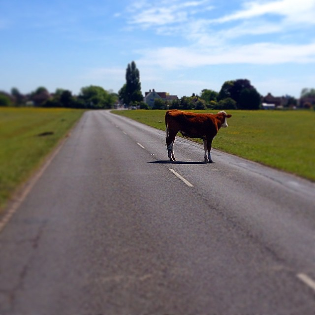 #cycling #congestion problems! He wouldn't move! #Windsor #ridelots #cow