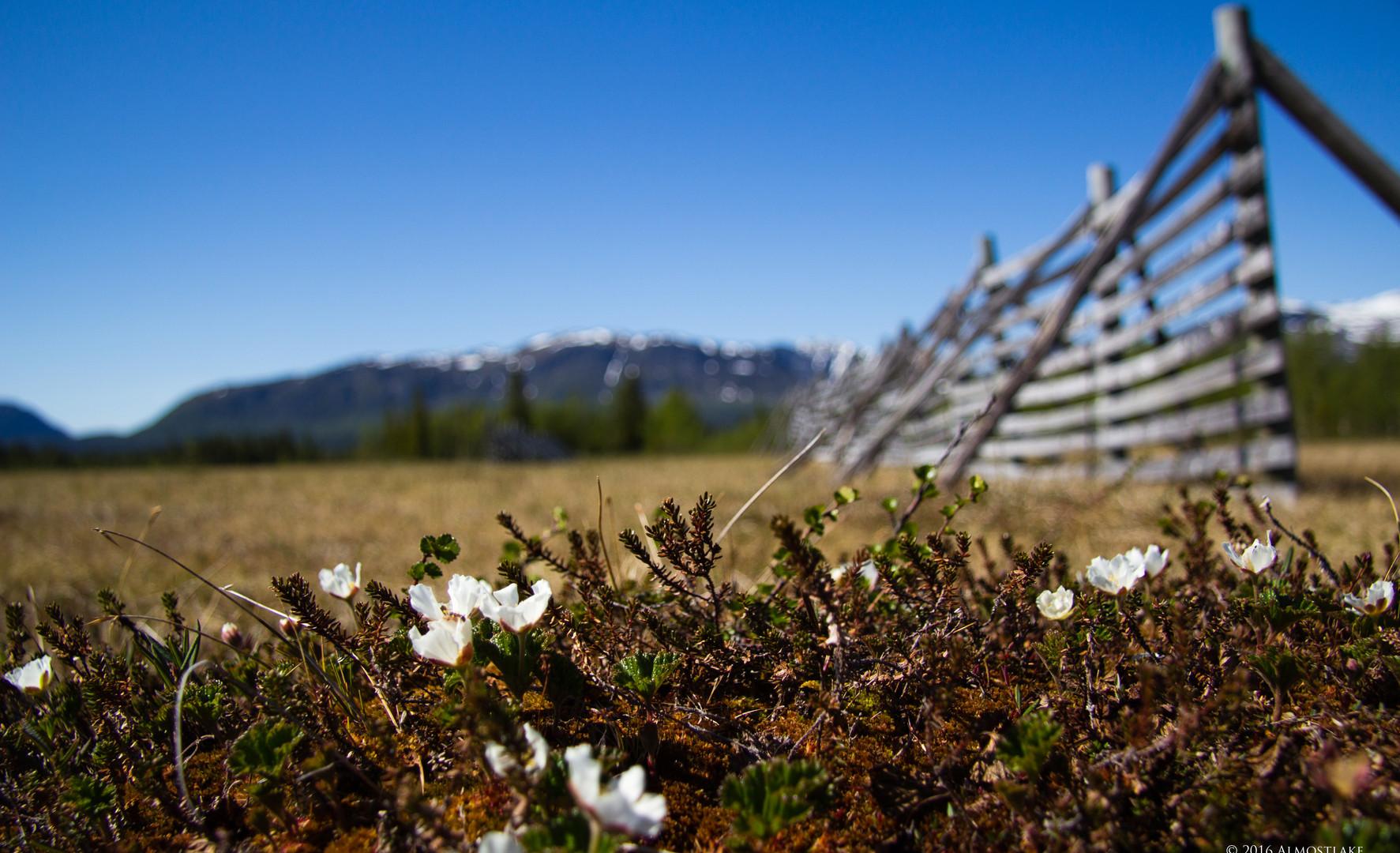 Hjortronblommor på myren sign.jpg