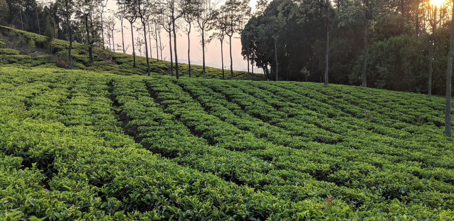 Tranquilitea tea estate in Coonoor
