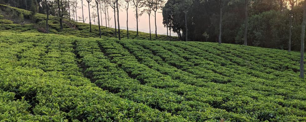 Tranquilitea tea estate in Coonoor