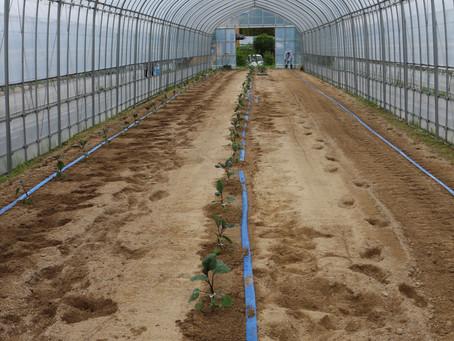 佐助ナスの植え付けと除草作業