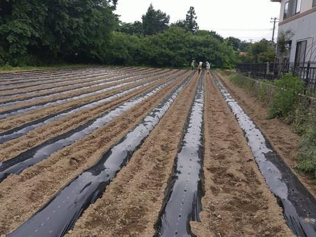 めんげ芋の定植作業