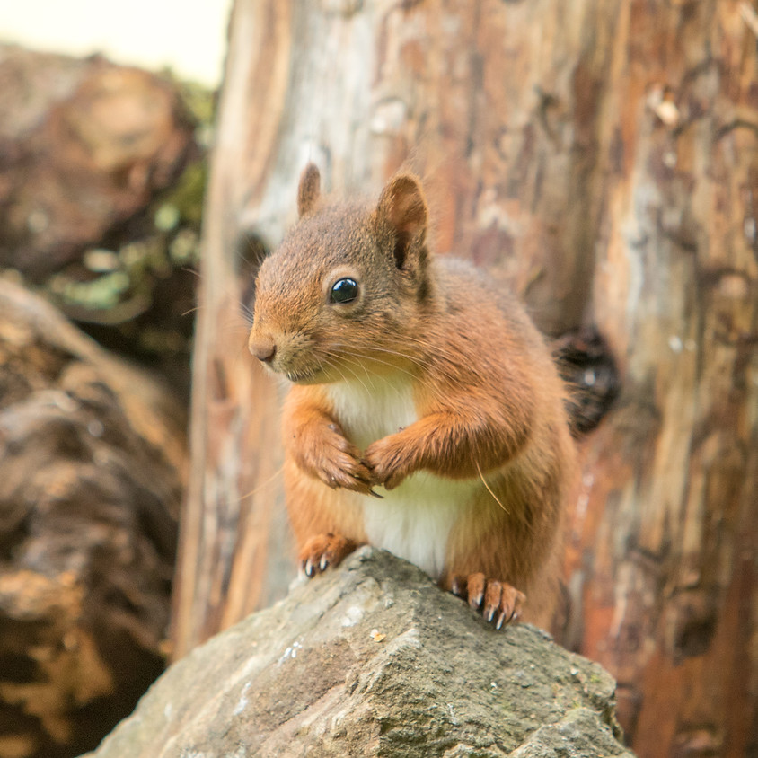 Red Squirrel Photography