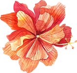 orange hibiscus.png