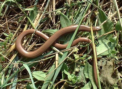 a_fragilis5038 sloe worm.jpg